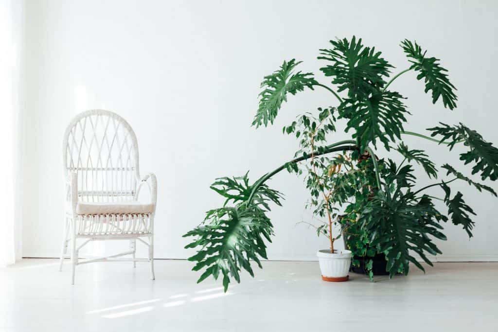 A huge indoor plant inside a white living room
