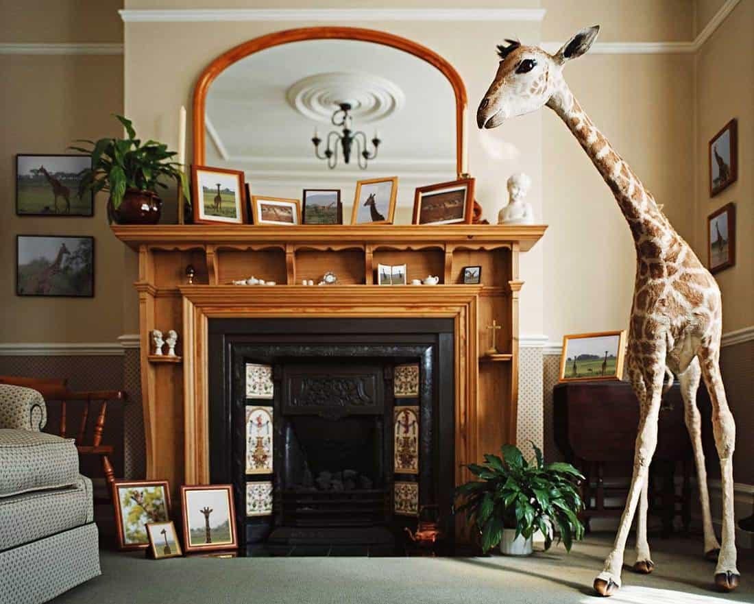 Stuffed giraffe in a home living room full of framed giraffe photographs
