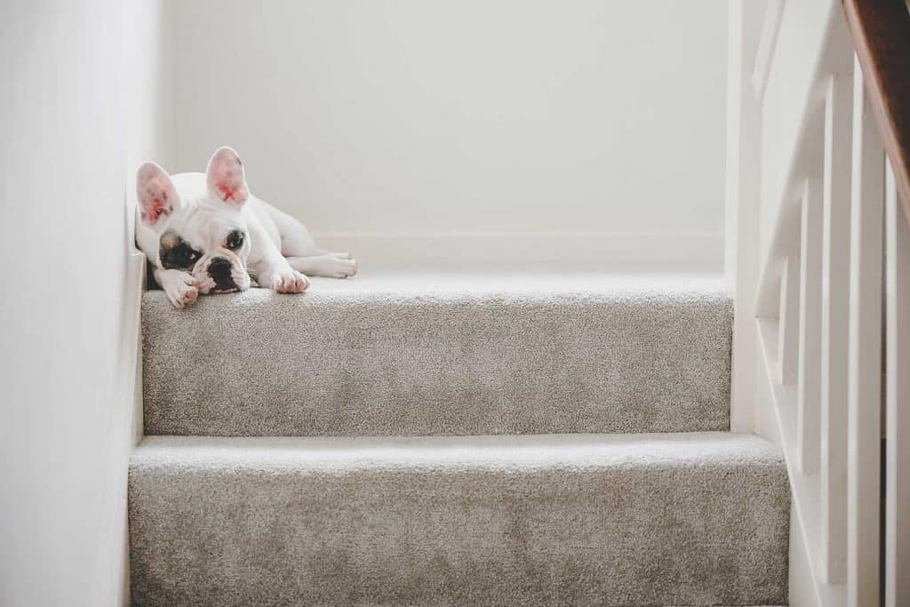 A cute French Bulldog puppy relaxing on the staircase landing