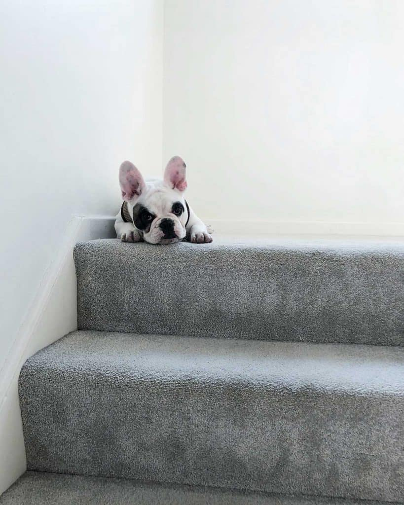 French bulldog resting on stairs indoors