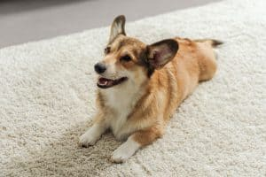 Read more about the article Is Carpet Deodorizer Safe for Pets? (These 5 Are!)