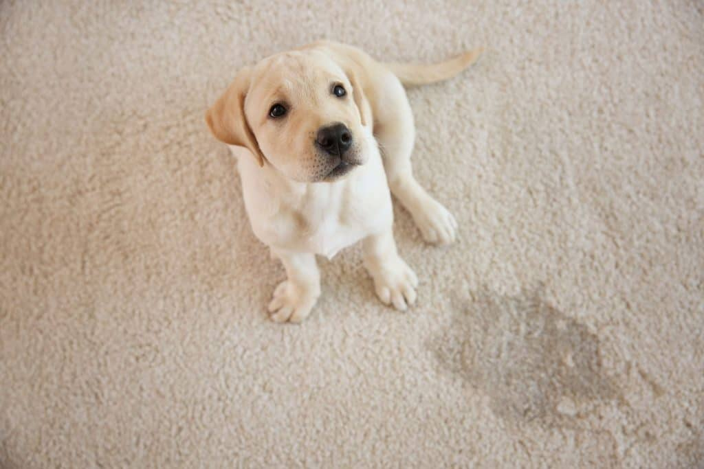 A cute Labrador puppy sitting on the carpet