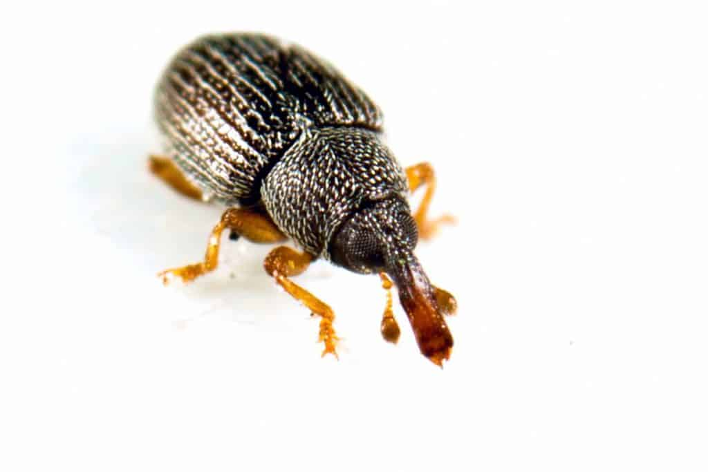 A small insect with a hard shell that eats grain, nuts and other seeds and destroys crops