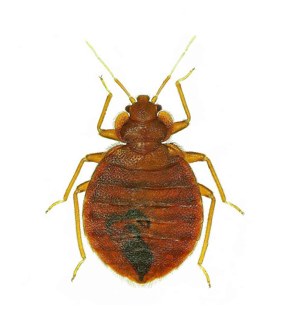 Bedbug isolated on white background