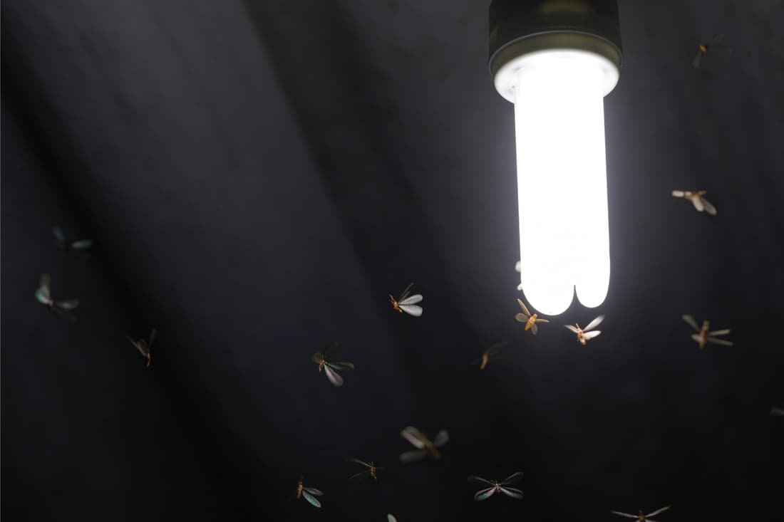 Flying termite bugs around a light bulb in the night