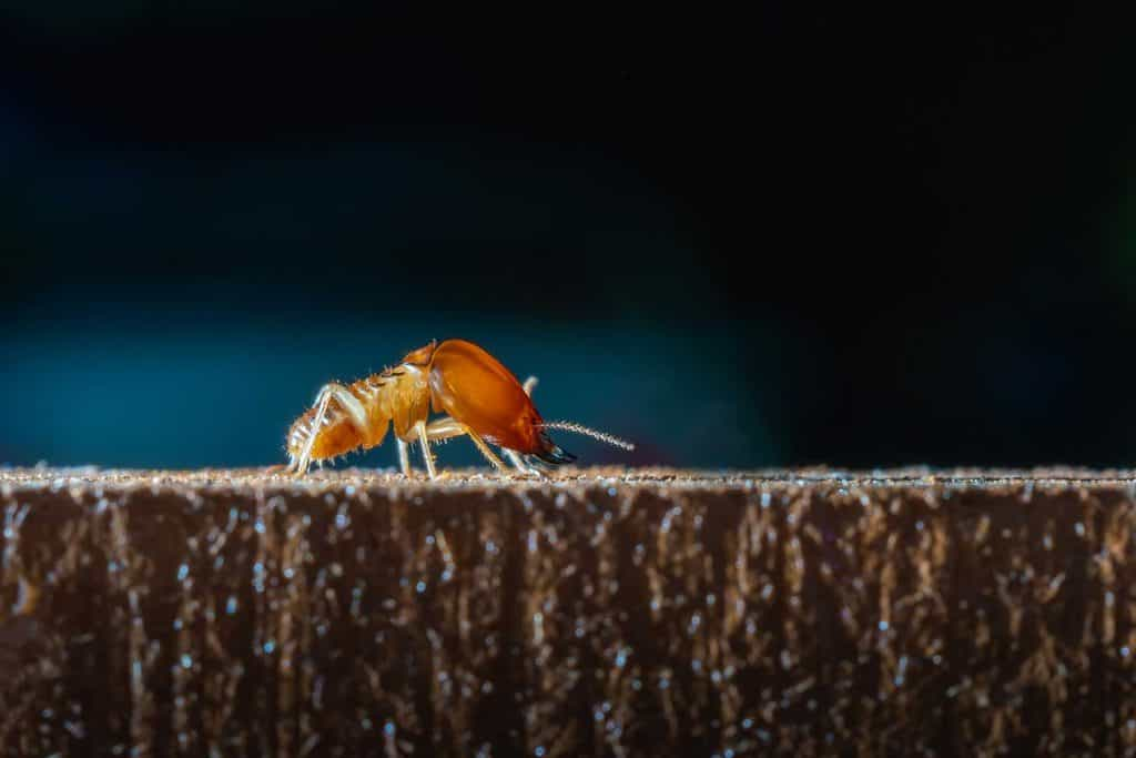 Macro close up termite on wooden in dark background