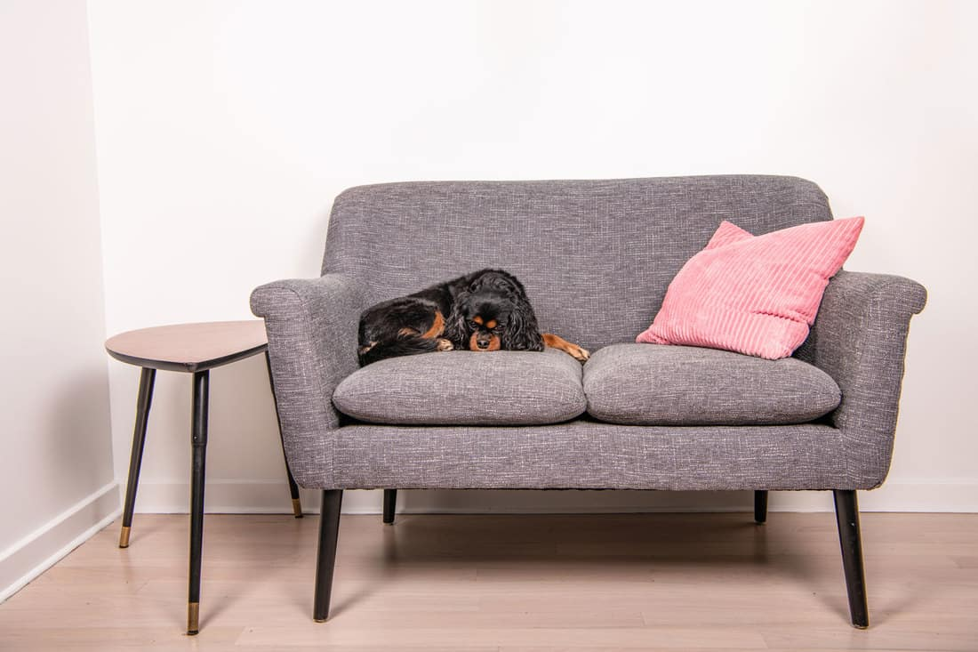 A beautiful dog relaxes on a gray loveseat sofa, curled up comfortably but eyes open looking at the camera, How Big Is A Loveseat?