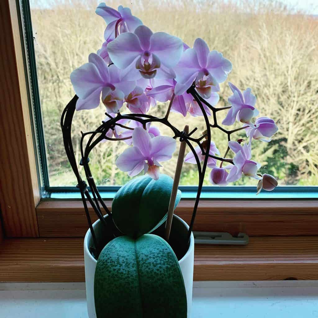 A beautiful indoor orchid placed next to a window