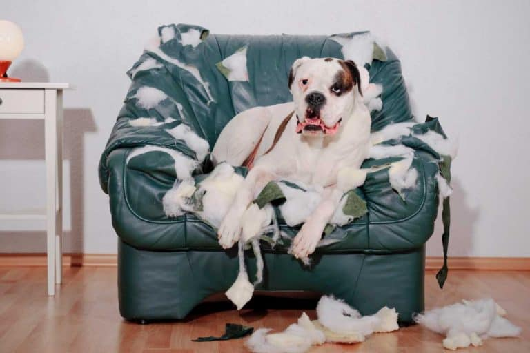 Boxer dog lying on a torn leather chair, Is Leather Furniture Good For Cats And Dogs?