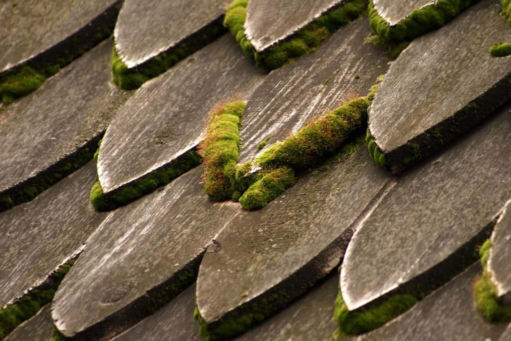 Wooden shingles of a house with molds growing on it