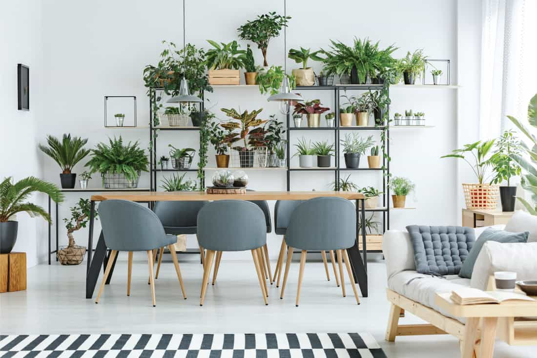 Beige sofa next to dining table with grey wooden chairs in open space interior with A shelved wall of plants