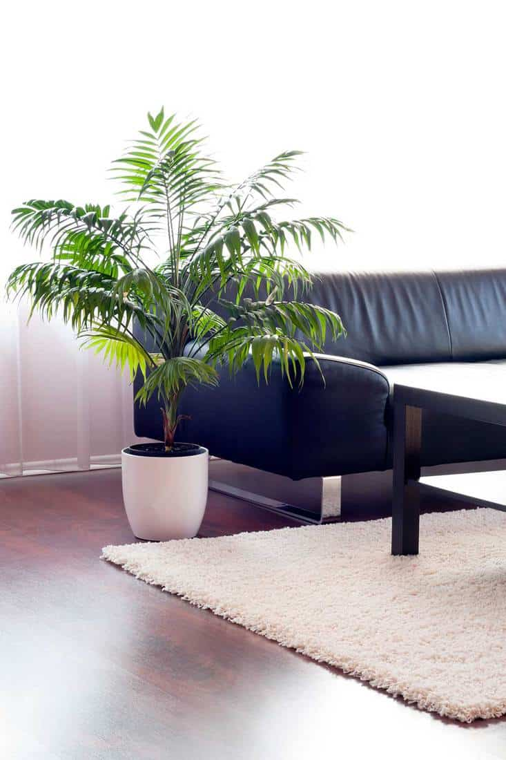 Modern living room with house plant on the side of black sofa and carpet rug on floor