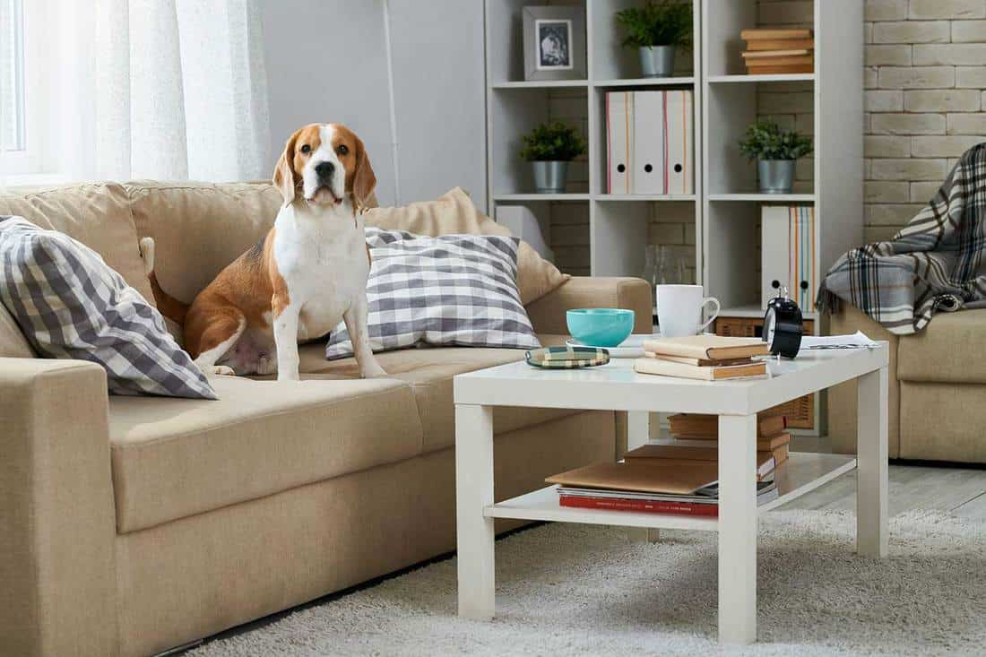 Beagle dog sitting among pillows on old-fashioned comfortable sofa and looking at camera, coffee table and bookshelf in home room