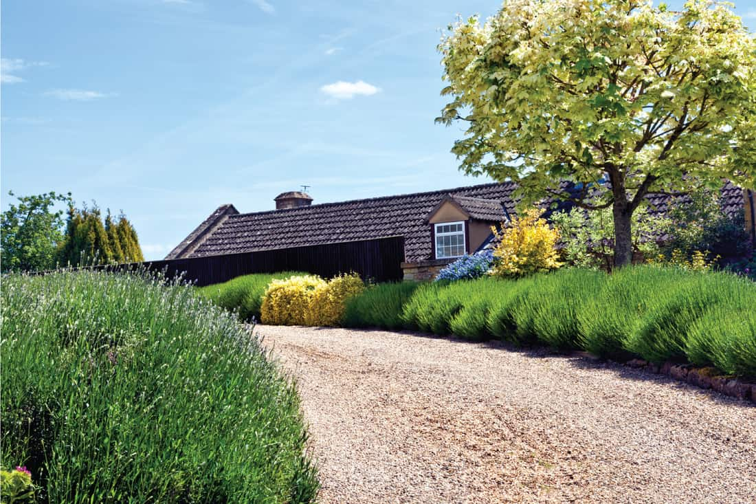 Gravel driveway to a country house with lavender border. Frame Your Driveway With Aromatic Lavender Bushes