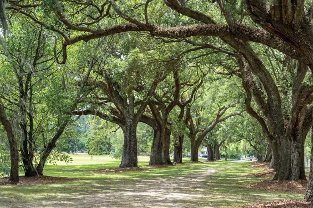 Live Oak Trees Spanish Moss Path. Set Your Gravel Drive Among A Drapery Of Trees