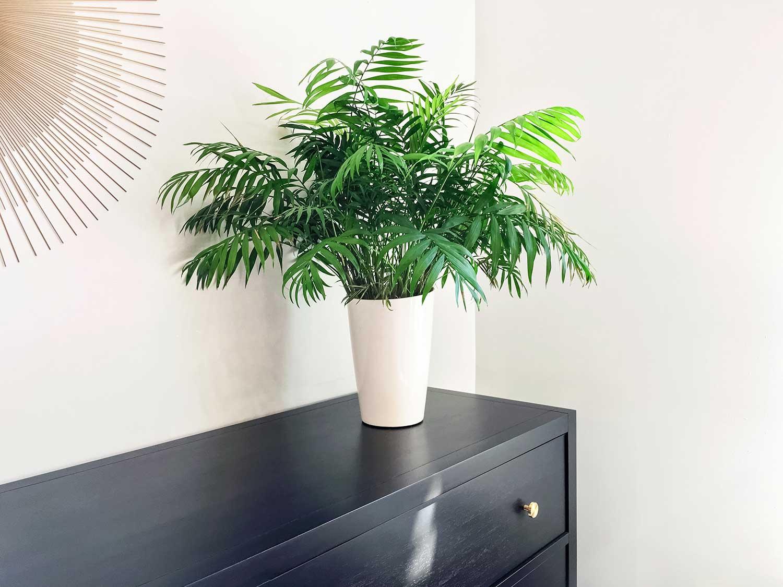 Parlor palm plant decorating black wooden dresser
