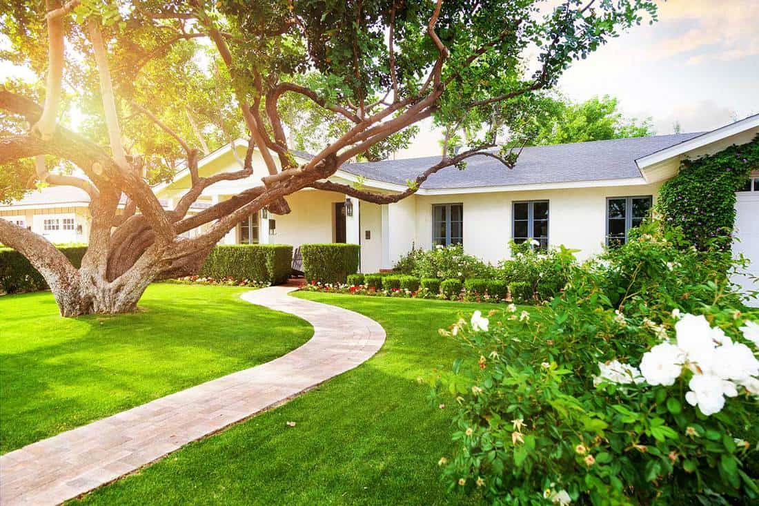 Beautiful white single family home with big green grass yard, large tree and roses