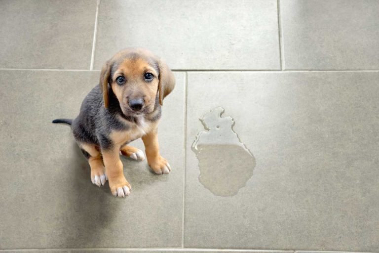 Cute puppy sitting near wet spot in the bathroom, 4 Ways To Remove Urine Stains From The Bathroom Floor