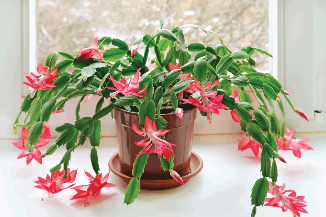 Christmas cactus (Schlumbergera) in pot