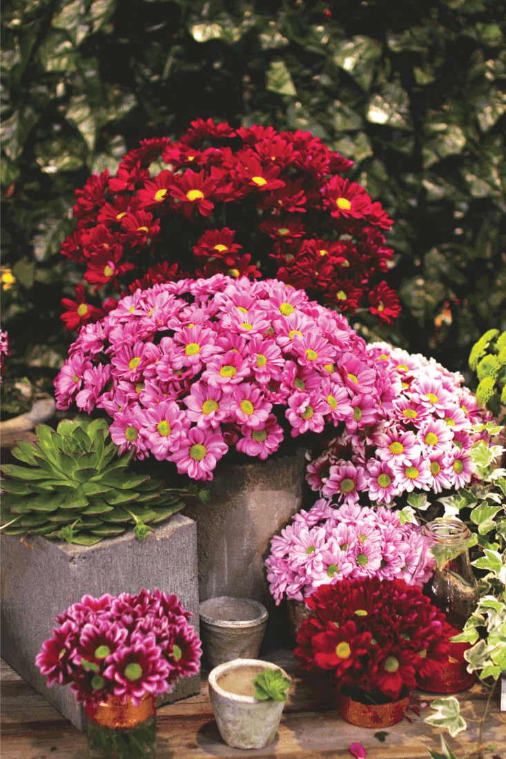 Chrysanthemums in pots with vintage filters
