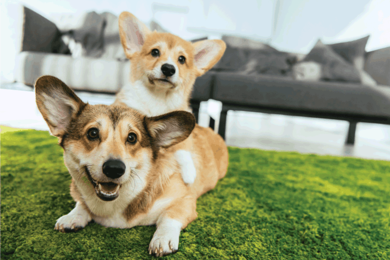 Close up view of two cute welsh corgi dogs laying on green lawn at home. How To Get Rid Of Dog Smell In A New House [6 Practical Methods]