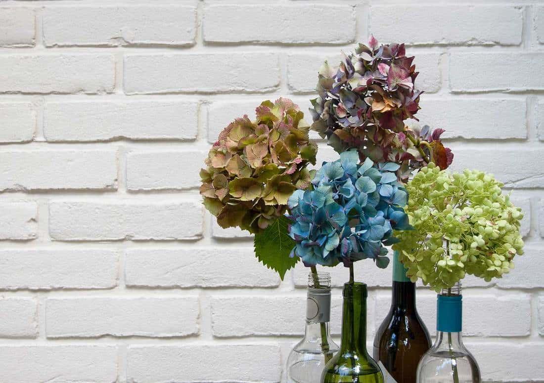 Dried Hydrangeas in wine bottles against white brick wall