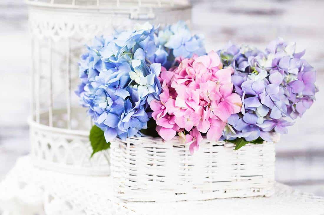 Hydrangea flowers on a wicker basket