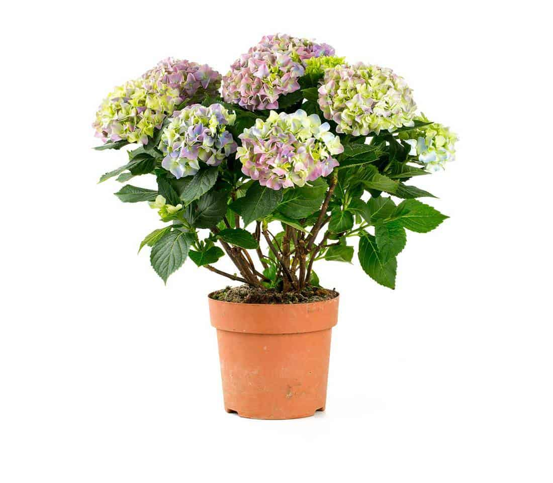 Hydrangea on a pot isolated on white background