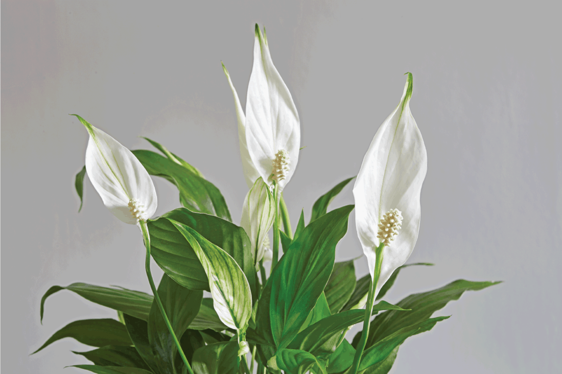 Peace Lily plant with several flowers