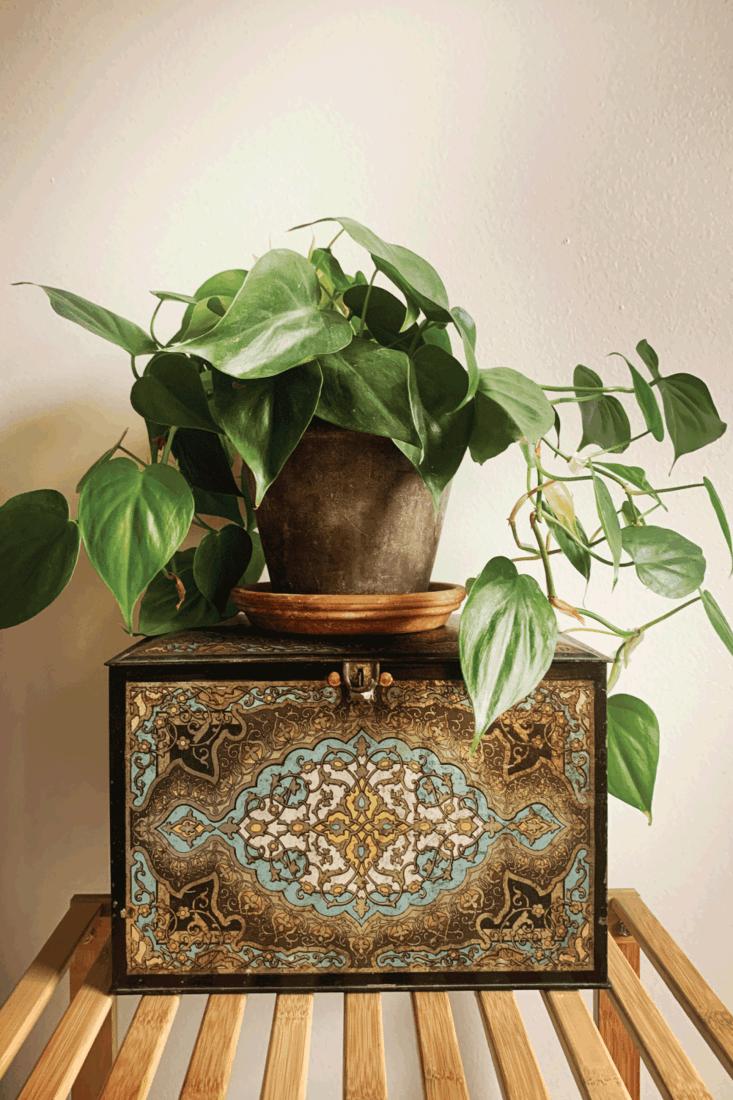 Philodendron Houseplant on Antique Tin Box
