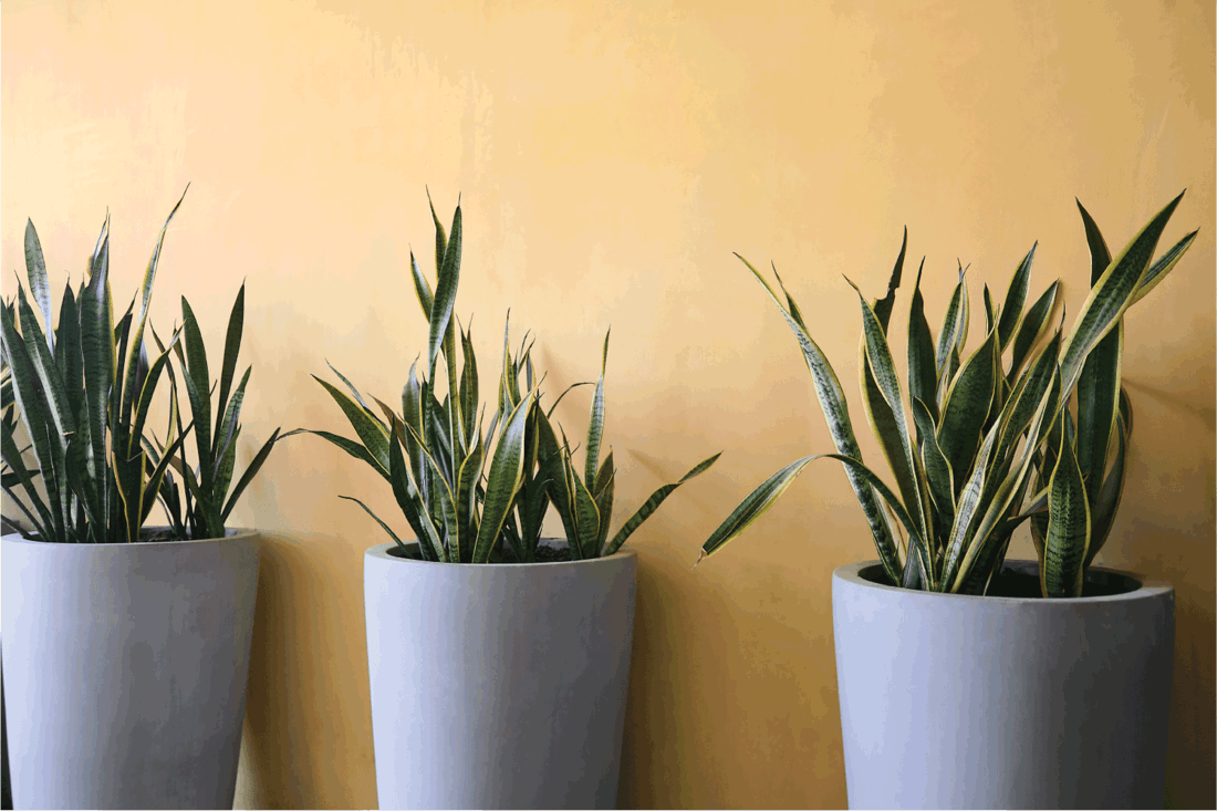 Snake Plant, Sansevieria in modern cement gray pots against yellow wall decorated inside building