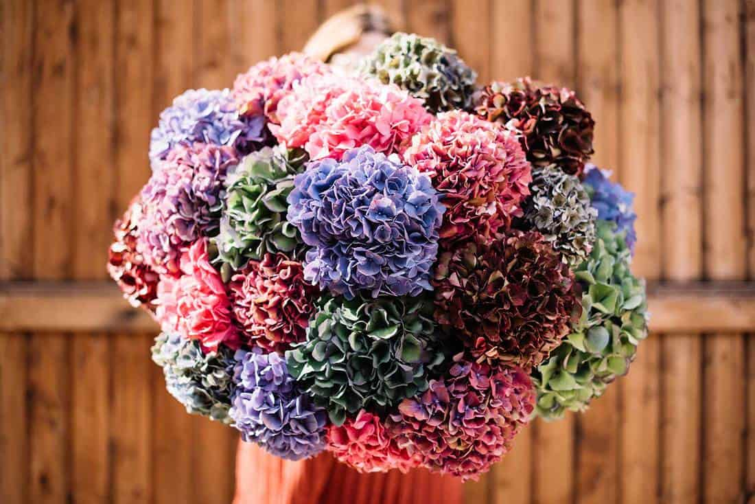 Very nice young woman holding huge beautiful blossoming bouquet of fresh colourful hydrangea flowers on the wooden wall background