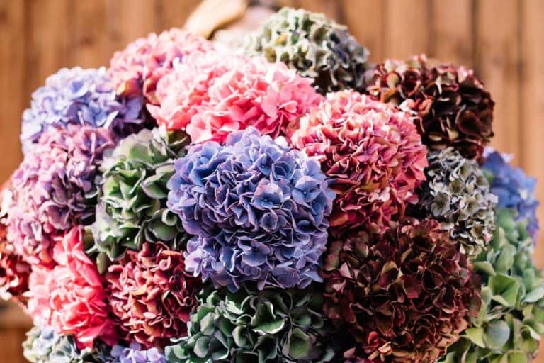 Woman holding huge beautiful blossoming bouquet of fresh colourful hydrangea flowers on the wooden wall background, 15 Beautiful Hydrangea Flower Arrangement Ideas