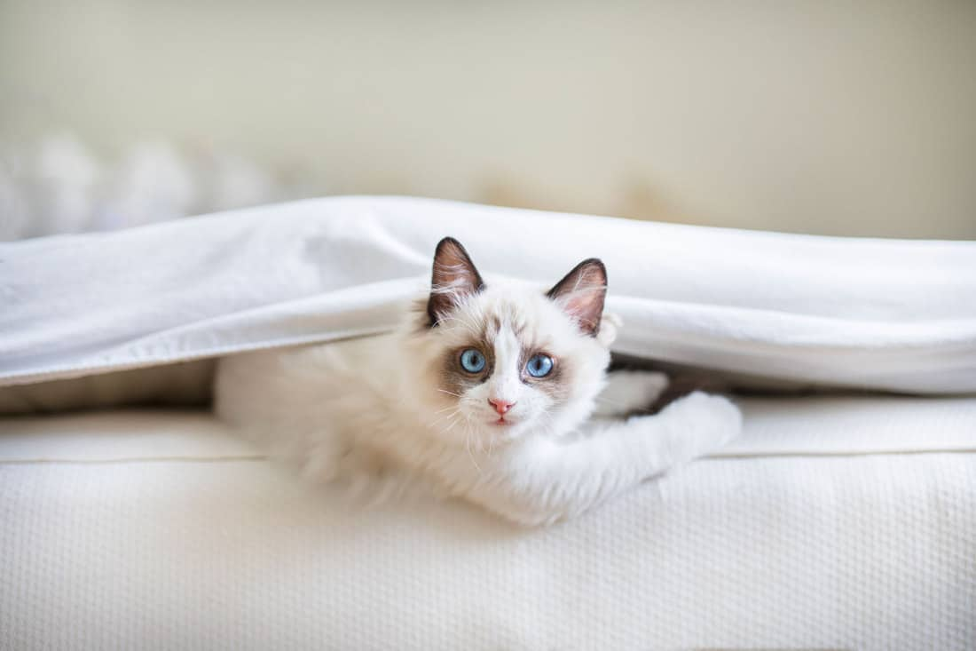 A cute Ragdoll kitten in the bedroom, tucked in between the sheets and the mattress