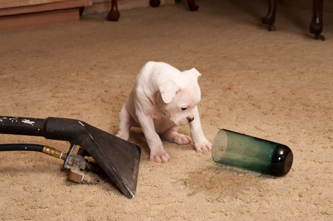 Carpet Cleaning Service with pet dog