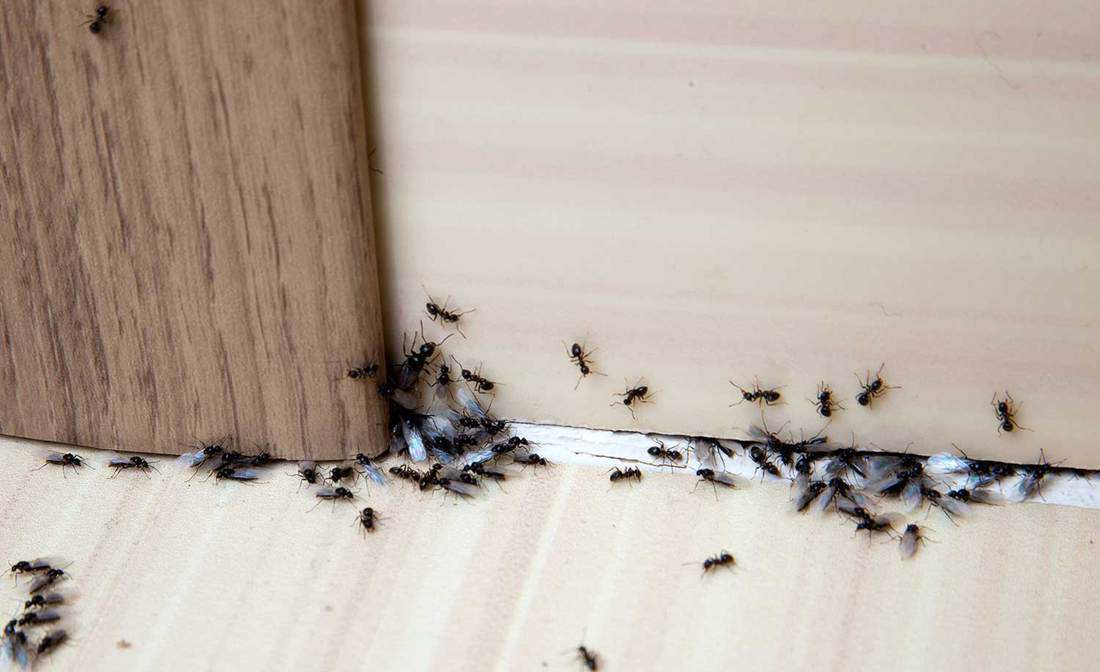 Ants on the baseboards and wall
