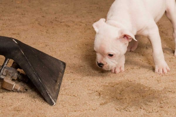 Read more about the article How To Get Pet Urine Out Of Carpet Padding
