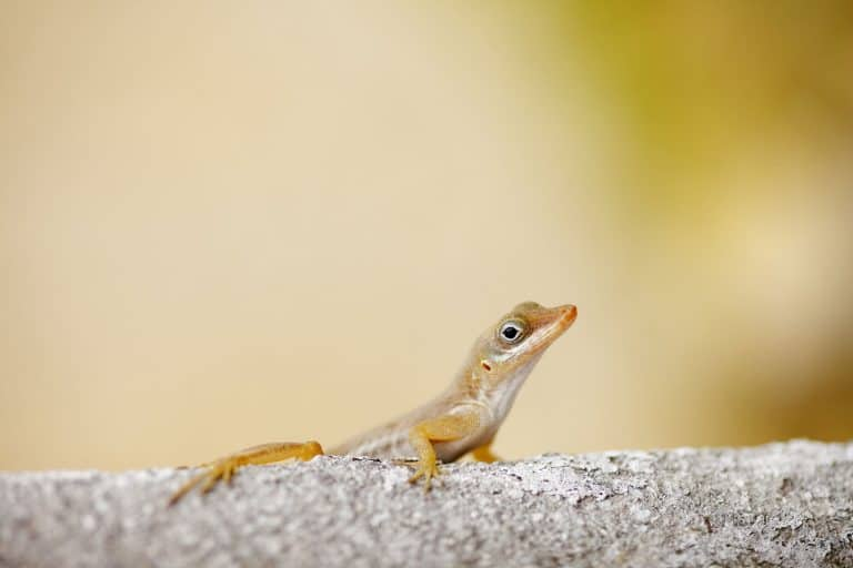 A close up photo of a gecko on the wall, How To Keep Geckos And Other Animals Out Of Your Lanai