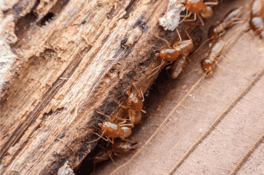 close up photo of Termites eating rotted wood