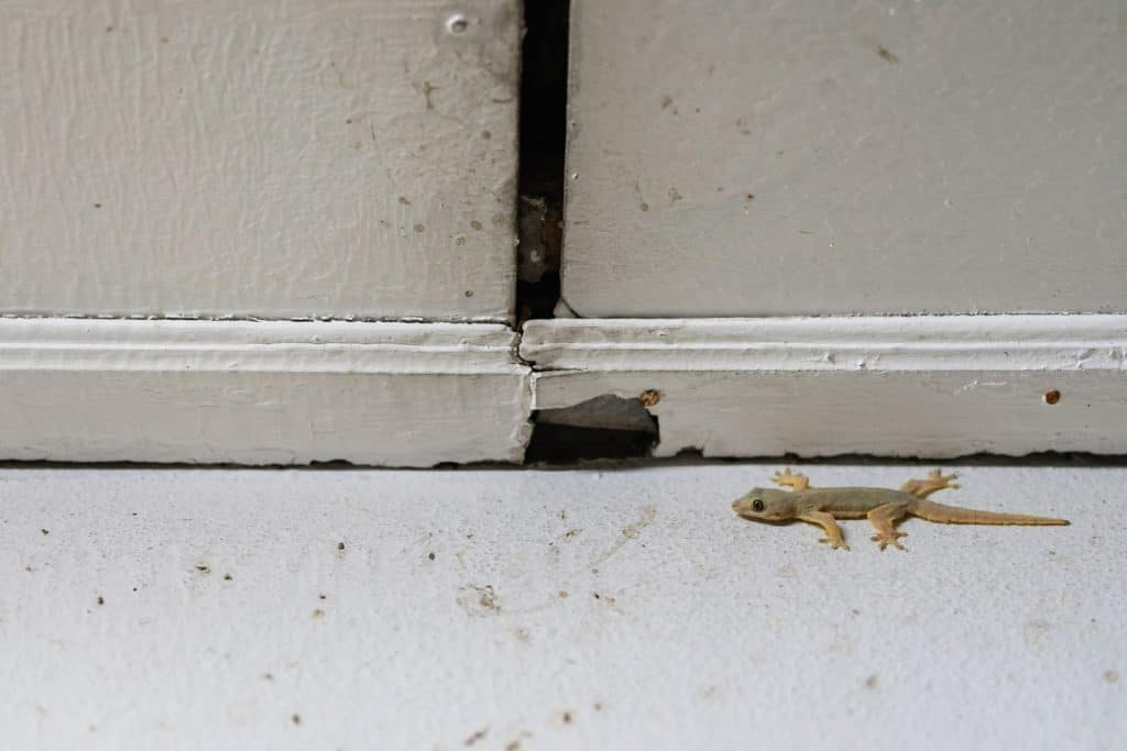 A lizard at the corner of the wall and roof of the house