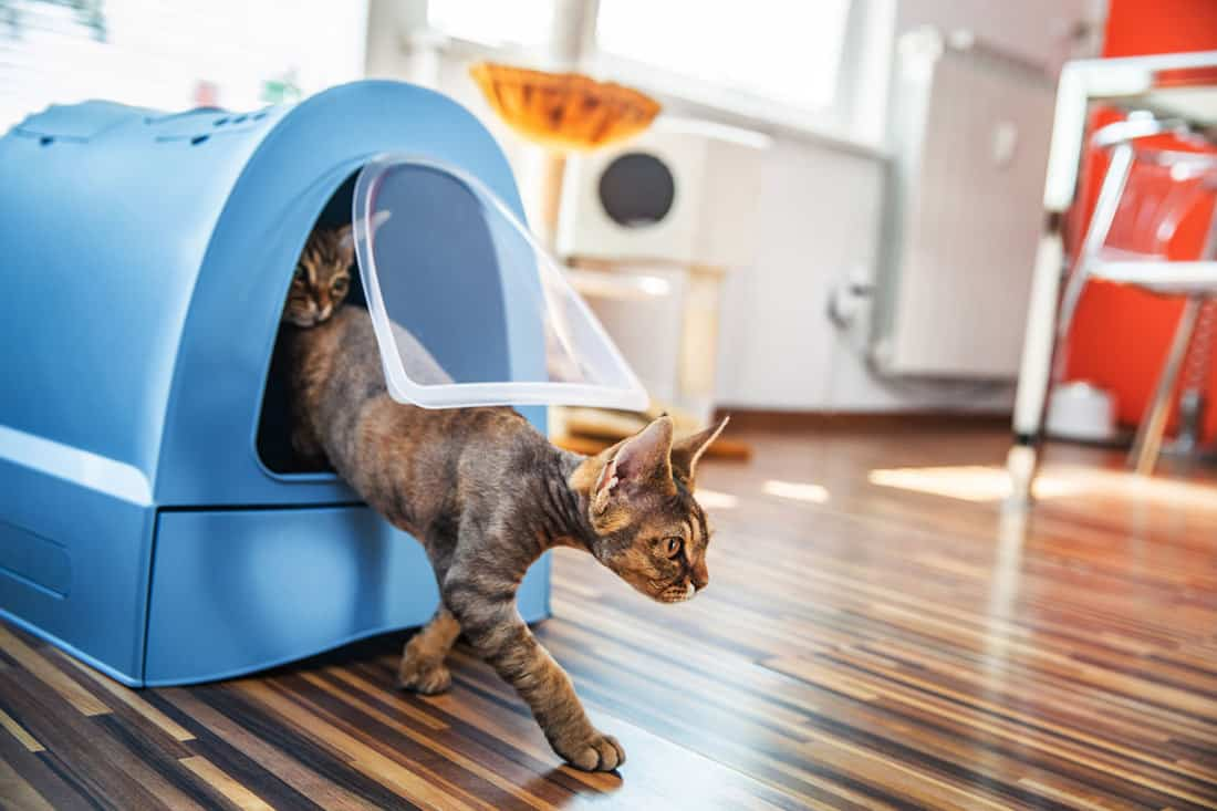 Domestic Cat Stepping Out of Closed Litter Box in Living Room.