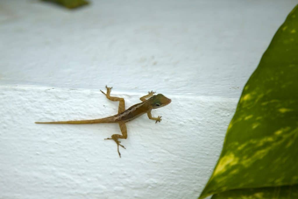 behold is a close up of a lizard (Gecko) on a porch